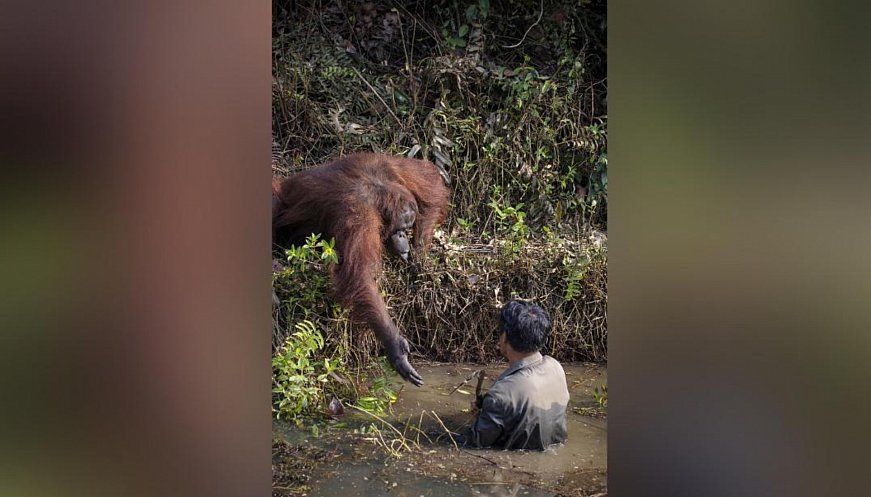 Indonesia: Orangutan Offers Helping Hand To Park Warden In River