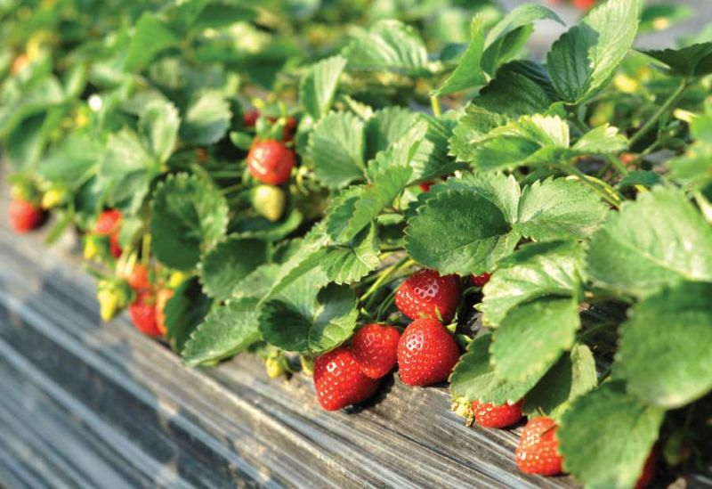 Lessons from the Garden: Snakes and Strawberries, by Alanda Greene